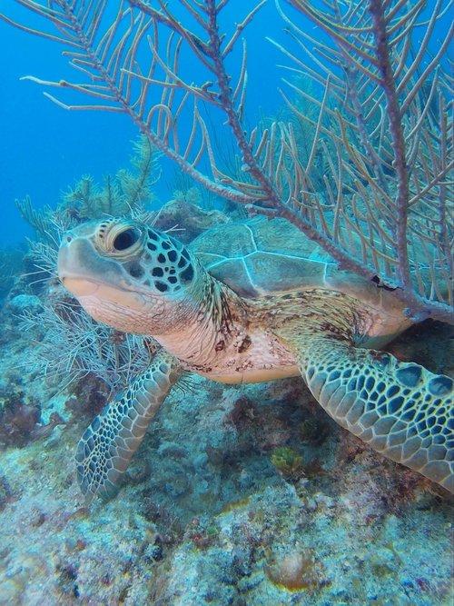 Sea turtles in Akumal Bay. Photo credit: Aramis Abrami